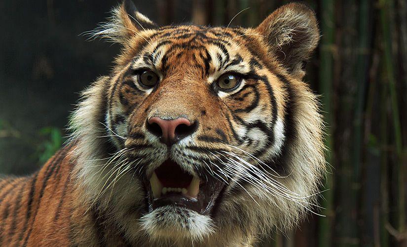 Sumatran Tiger, Taronga Zoo in Sydney