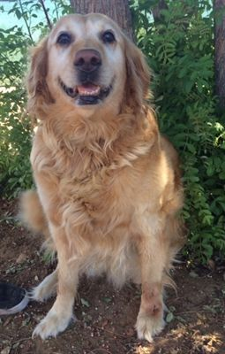 Pin By T Napo On Adoptable Golden Retrievers Dogs Adoption Pets