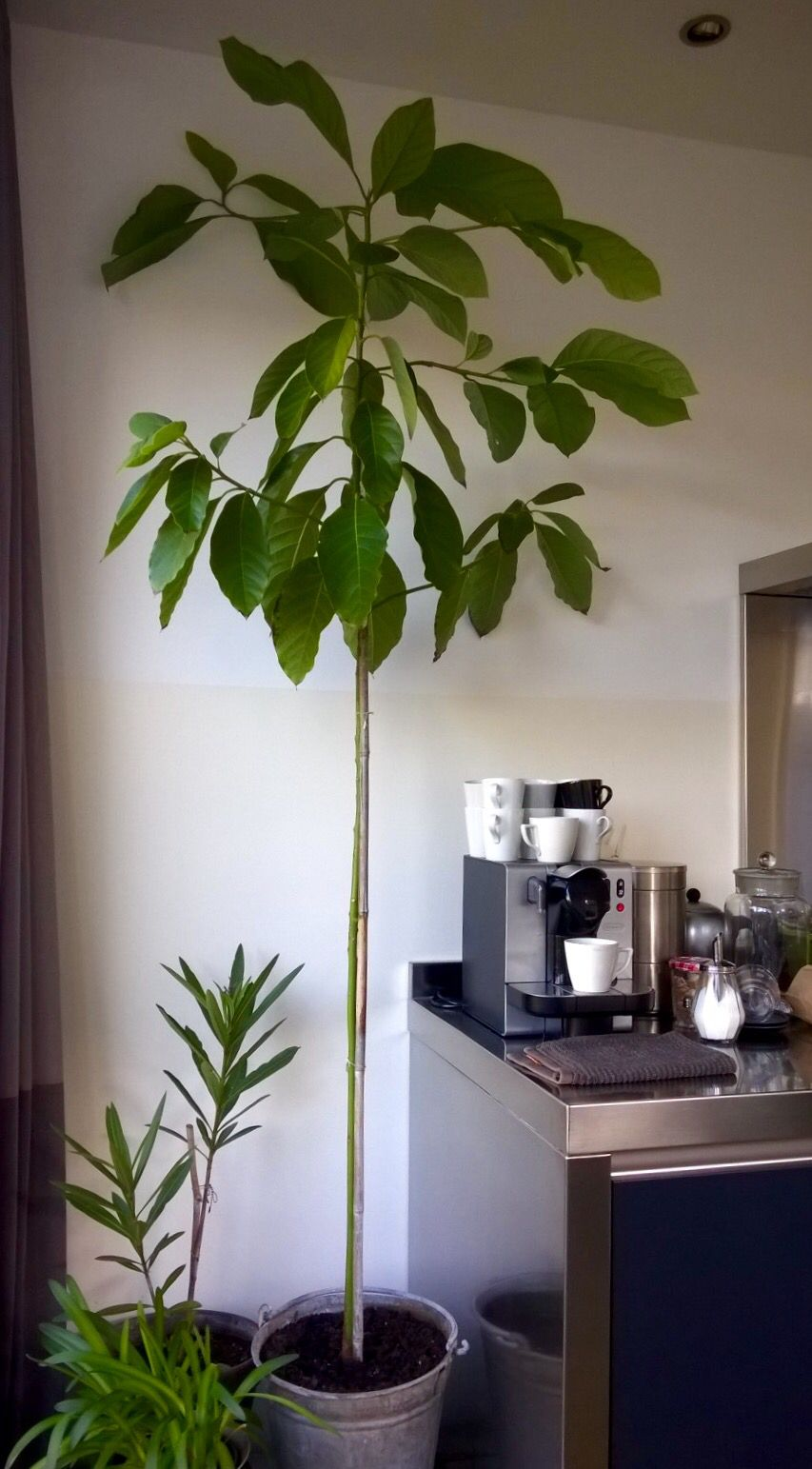 My Home Grown Avocado Tree Avocado Plant Growing An