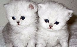 Long Hair Kittens For Sale In Westchester New York Kitten Pictures Kittens Cutest Kittens