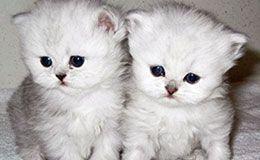 Long Hair Kittens For Sale In Westchester New York Kitten