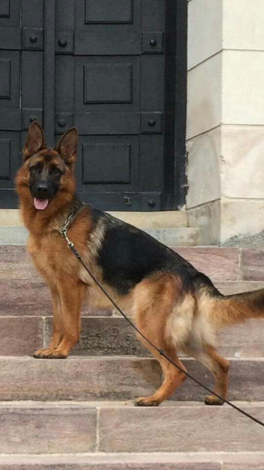 On the physical side, the German Shepherd is of middle size with enough weight to be effective as a herder or a patrolman, but not so big as to be cumbersome. This is a trotting dog that can cover a lot of ground very gracefully, with almost no effort. The impression of the dog should be one of ruggedness.