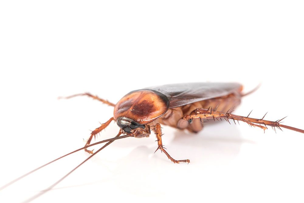 كيفية التخلص من الصراصير بسهولة أفضل طرق طبيعية للتخلص من الصراصير في منزلك Pest Control Pests Flea Prevention