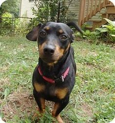 Dachshund Mixed With Doberman Images