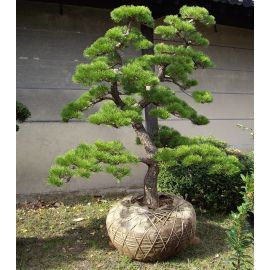 pinus mugo mughus acheter vos arbres chez le sp cialiste du jardin zen fran ais art garden www. Black Bedroom Furniture Sets. Home Design Ideas