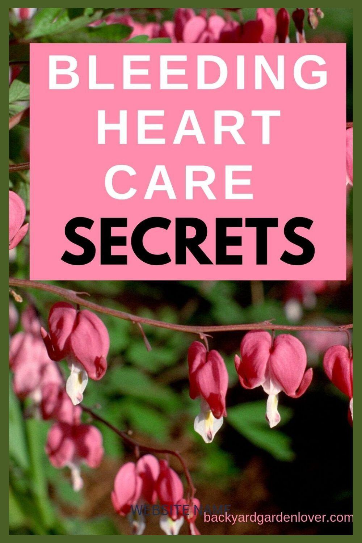 Bleeding Heart Plant Care Secrets You Should Know In 2020 Bleeding Heart Bleeding Heart Plant Bleeding Heart Flower