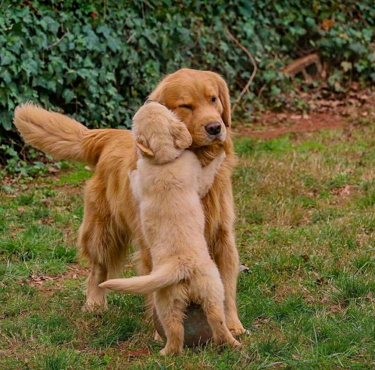 Photo of #Hugs # give || #golden #retriever #puppy