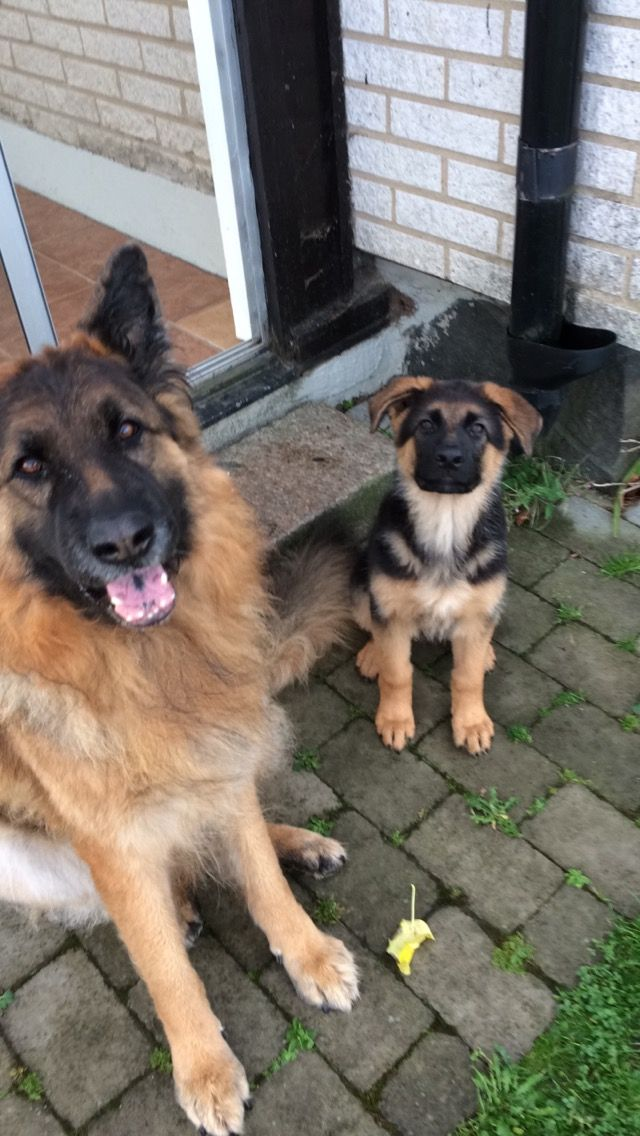 German Shepherd Legolas And Puppy Django German Shepherd