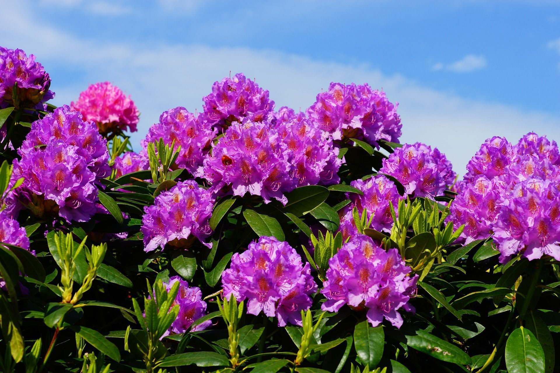 What S The Difference Between Rhododendrons And Azaleas Plants Rhododendron Azalea Flower