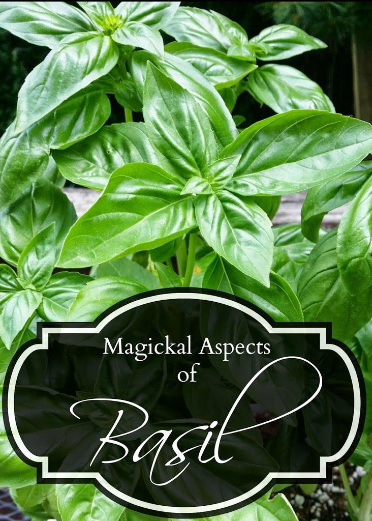 Cultivated for over 5000 years, Basil has been the center of many