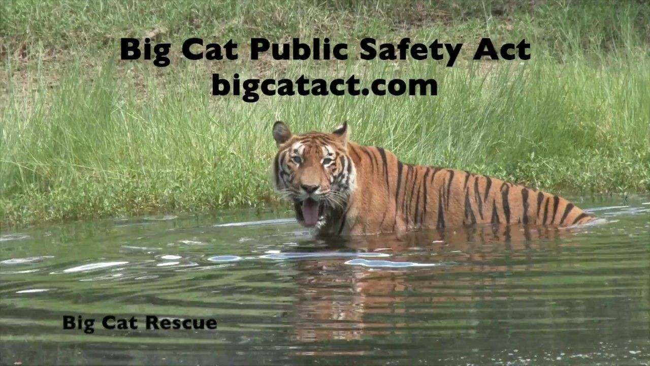 Animal Rights Awareness Week Big cat rescue, Big cats