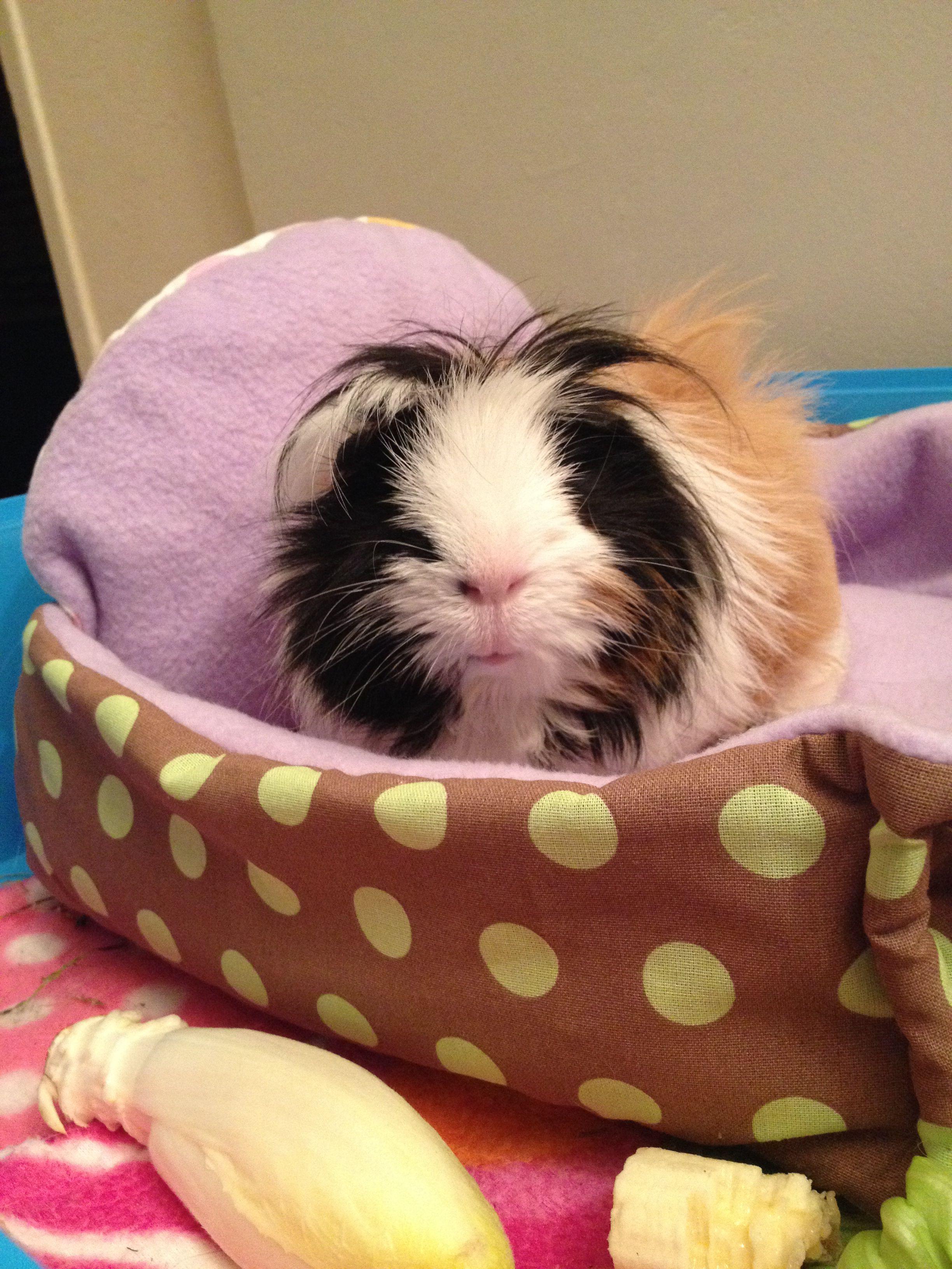 Peluche my guinea pig <3