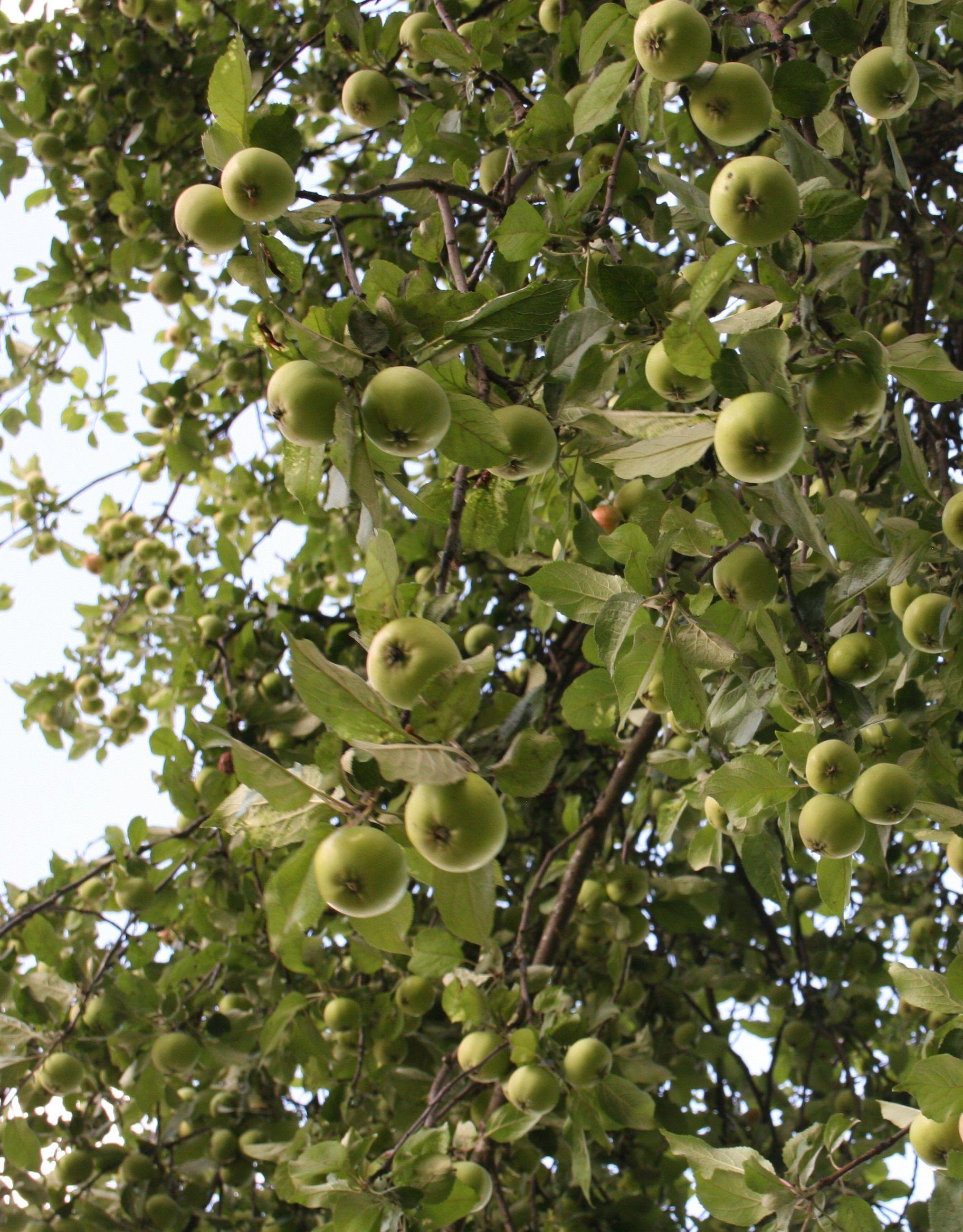 Syksyn viimeiset omenat käytin italialaiseen omenapaistokseen: 4-5 omenaa 1/2 tl kanelia 150 g voita 1 1/2 dl sokeria 1 muna 1 3/4 dl vehnäj. 1/2 dl mantelirouhetta  1. Levitä lohkotut omenat voideltuun vuokaan ja ripottele kanelia päälle. 3. Vaahdota rasva ja sokeri, lisää muna. Lisää jauhot ja sekoita. 4. Nostele taikina omenoiden päälle. Ripottele mantelit. 5. 200 C, alataso, 30 min.  Lähde…