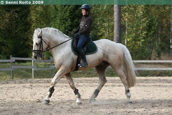 Latvian Warmblood x Standardbred gelding Karats