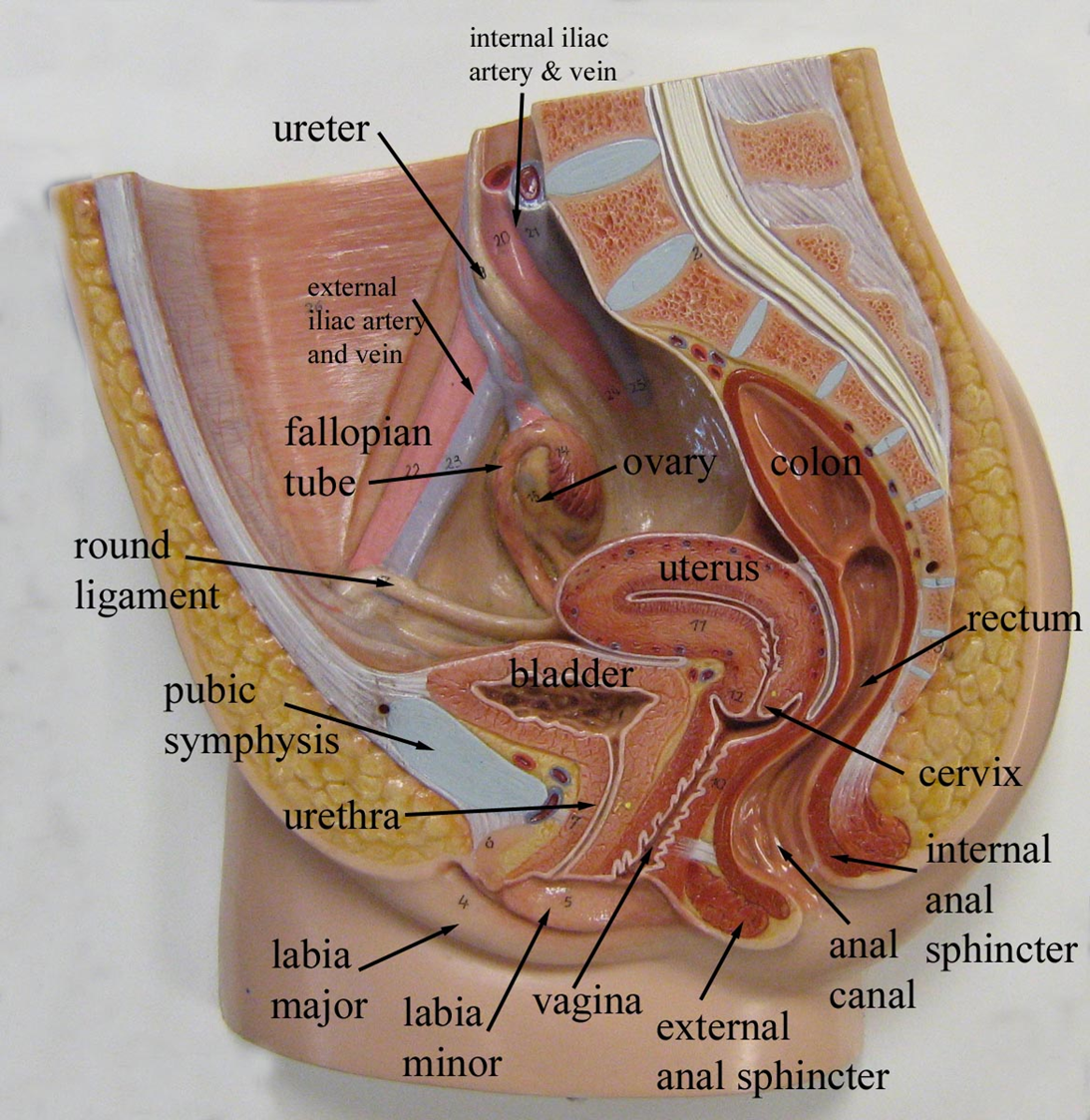 Labeled Pelvic Spaces Uterine