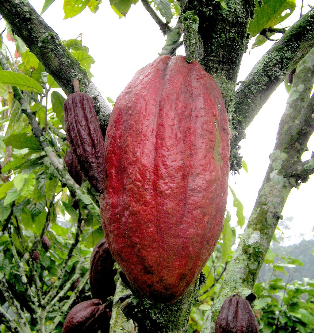Cocoa is loaded with flavonoids which are a powerful