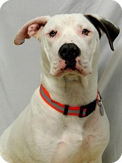 American Bulldog American Pit Bull Terrier Mix Dog For Adoption In