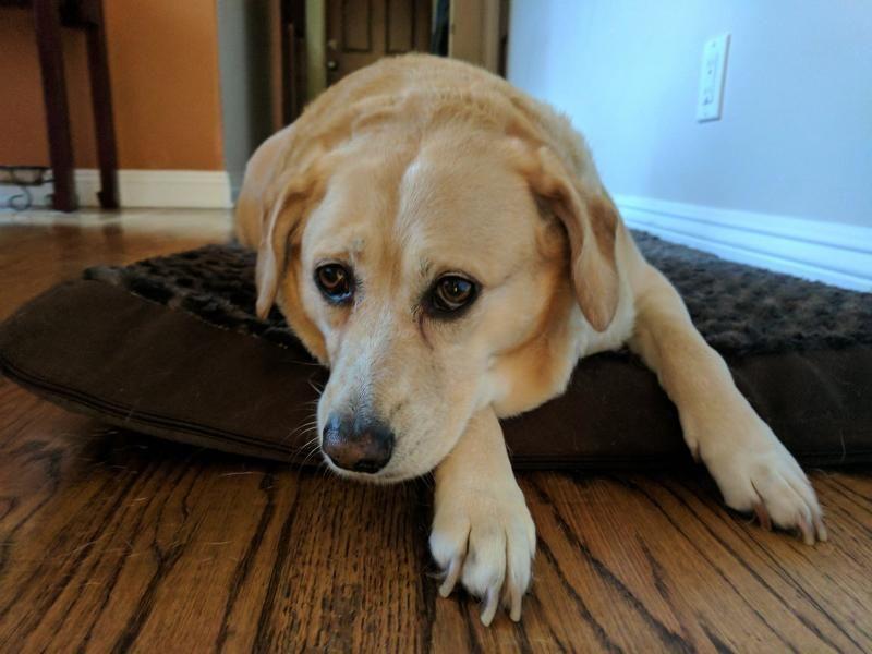 Adopt Sierra Adopt Me On Labrador Retriever Labrador Pets