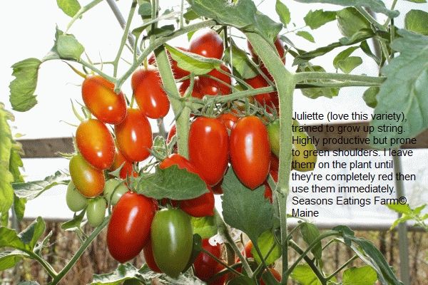 Juliet tomatoes are an all-time favorite.
