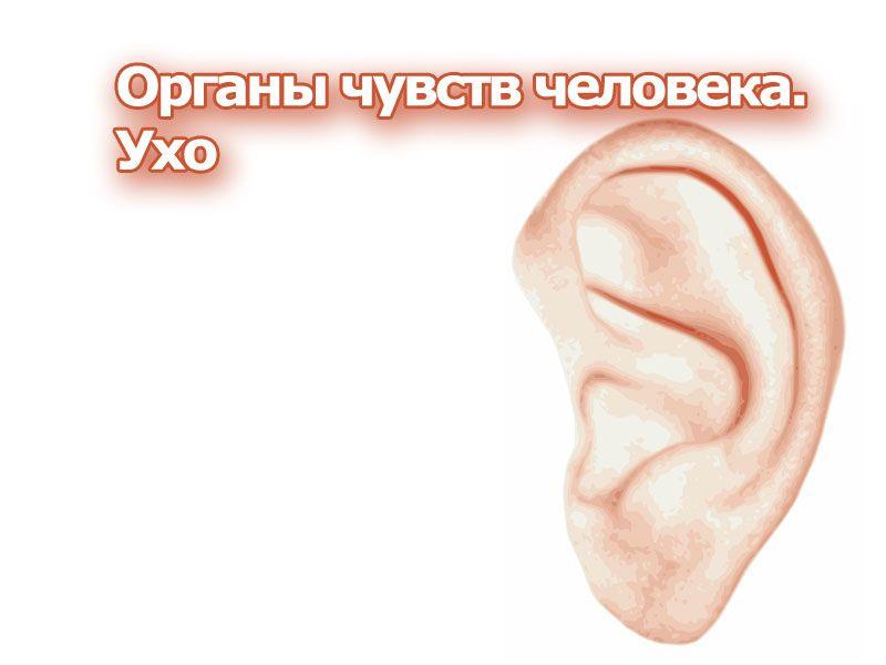 Доклад на тему орган чувств ухо 6651