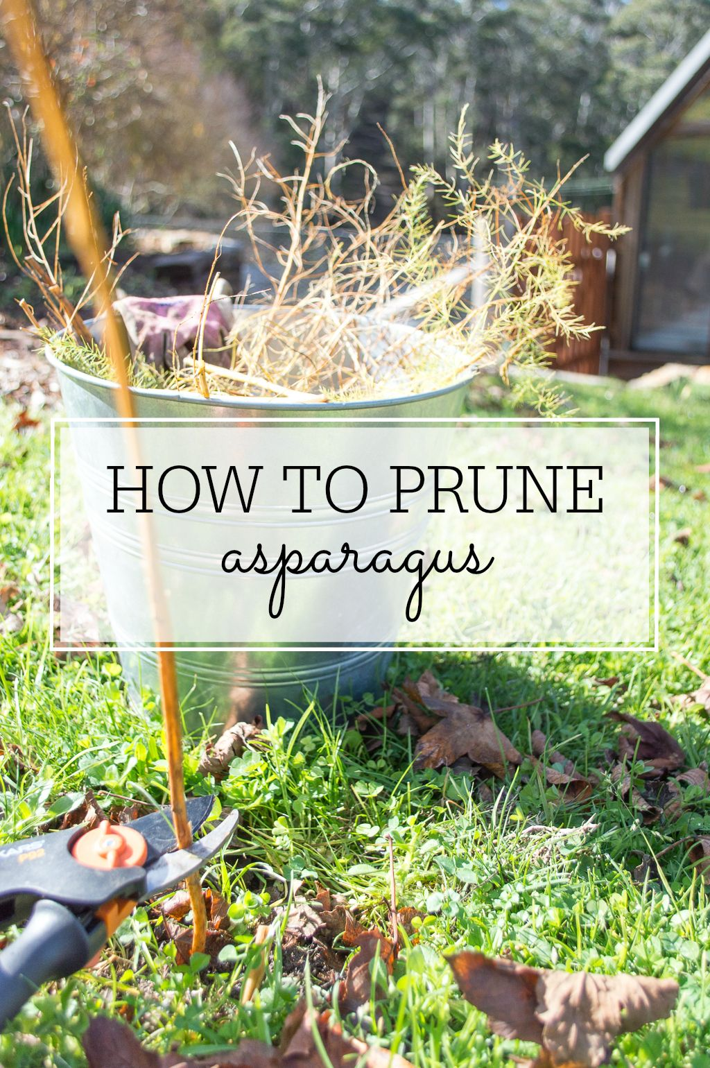 How To Prune Asparagus - Planting 101 | Asparagus plant ... Planting Asparagus In The Fall