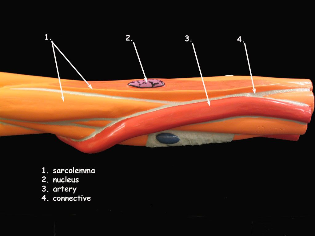 Smooth Muscle Cell Model   A&P.2.Skin.Bone.Muscle ...