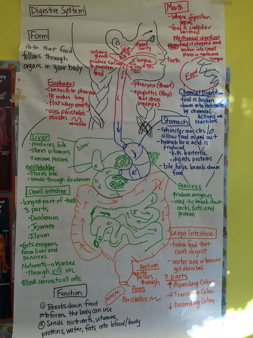 digestive system pictorial input chart