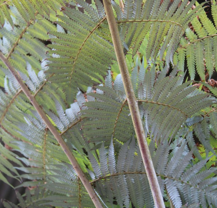 Cyathea dealbata - Silver Tree Fern