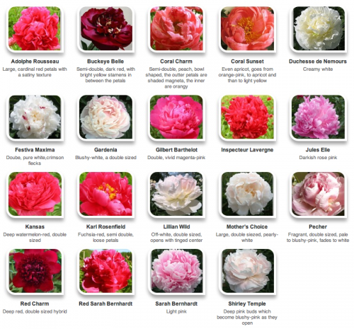Beautiful Flower Pictures And Name List Of Flowers Peonies