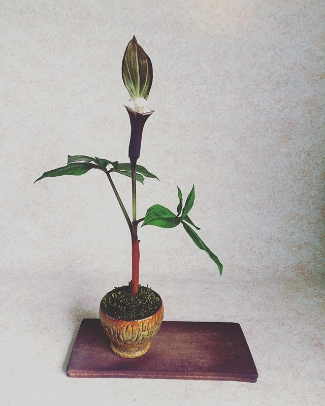 #ユキモチソウ #雪餅草 #草物盆栽  #kusamono  #bonsai  #bonsaipot  #盆栽  #鉢