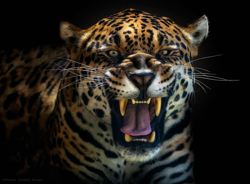 Fury by Pedro Jarque Krebs on 500px Jaguar leopard, Wild