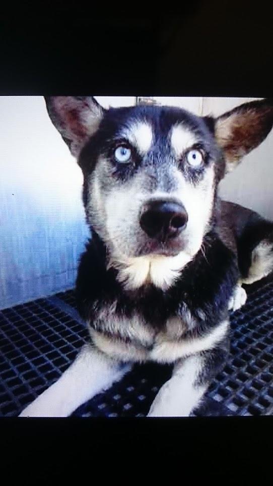Adopt Biggie On Male Husky Animal Shelter Animals