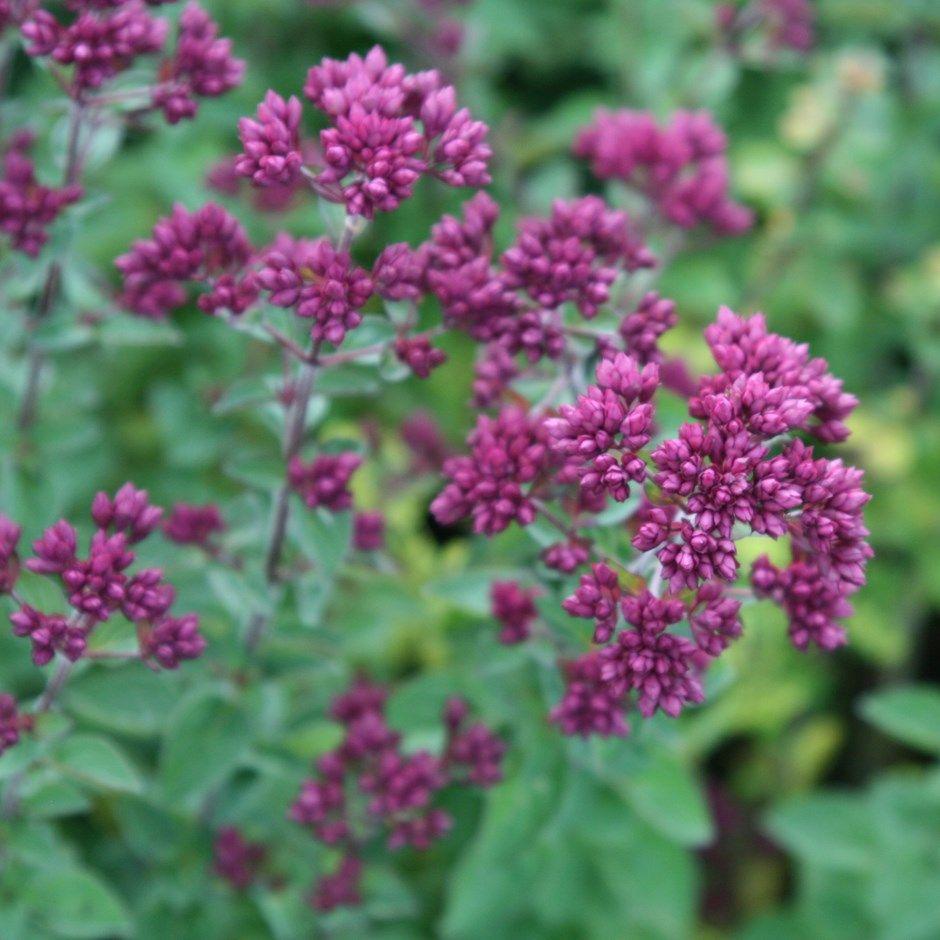 Olr Oregano Rosenkuppel Hemlock Bed 5 Pinterest Plants