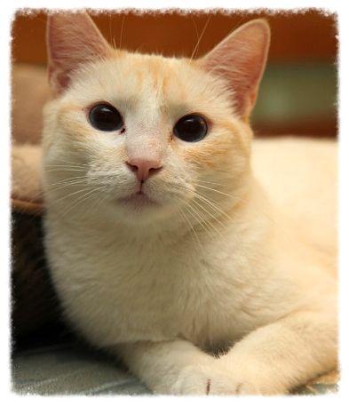 Meet Amadala Gorgeous Flame Point Siamese Kitten About 7