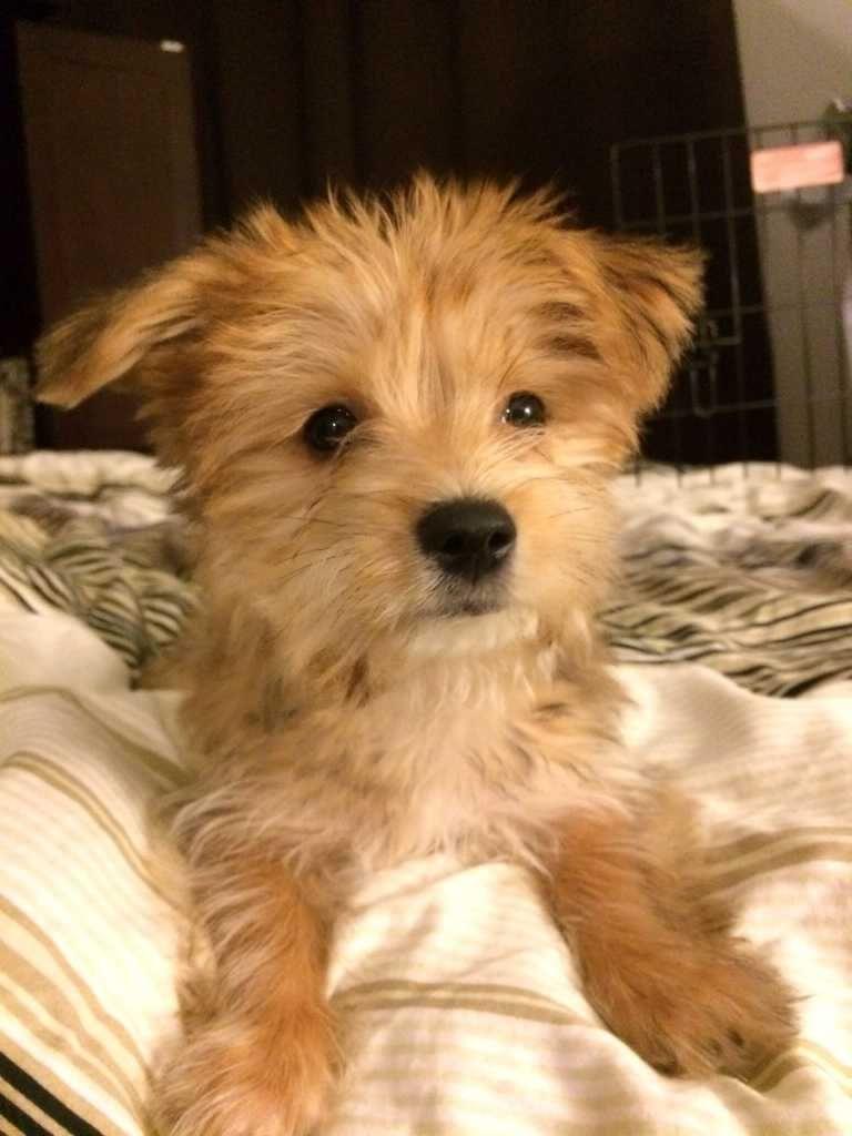 Find Wheaten Terrier Rescue Nc Wheaten Terrier Rescue Pedigree