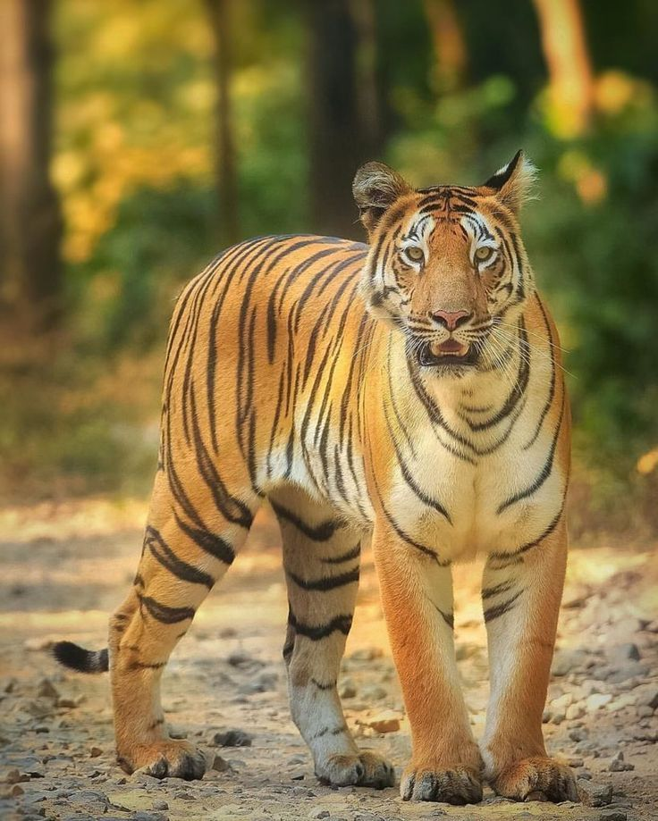 Pin by Maigen Daphne on Places to visit Tiger