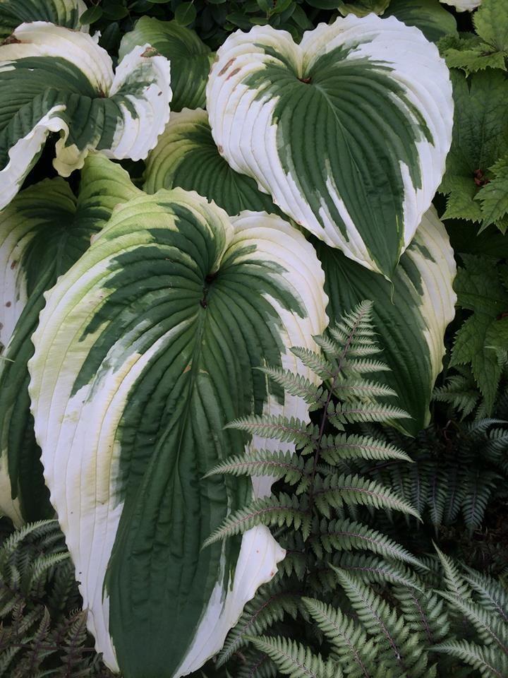 Image Result For Bridal Falls Hosta Gardening Hosta Gardens