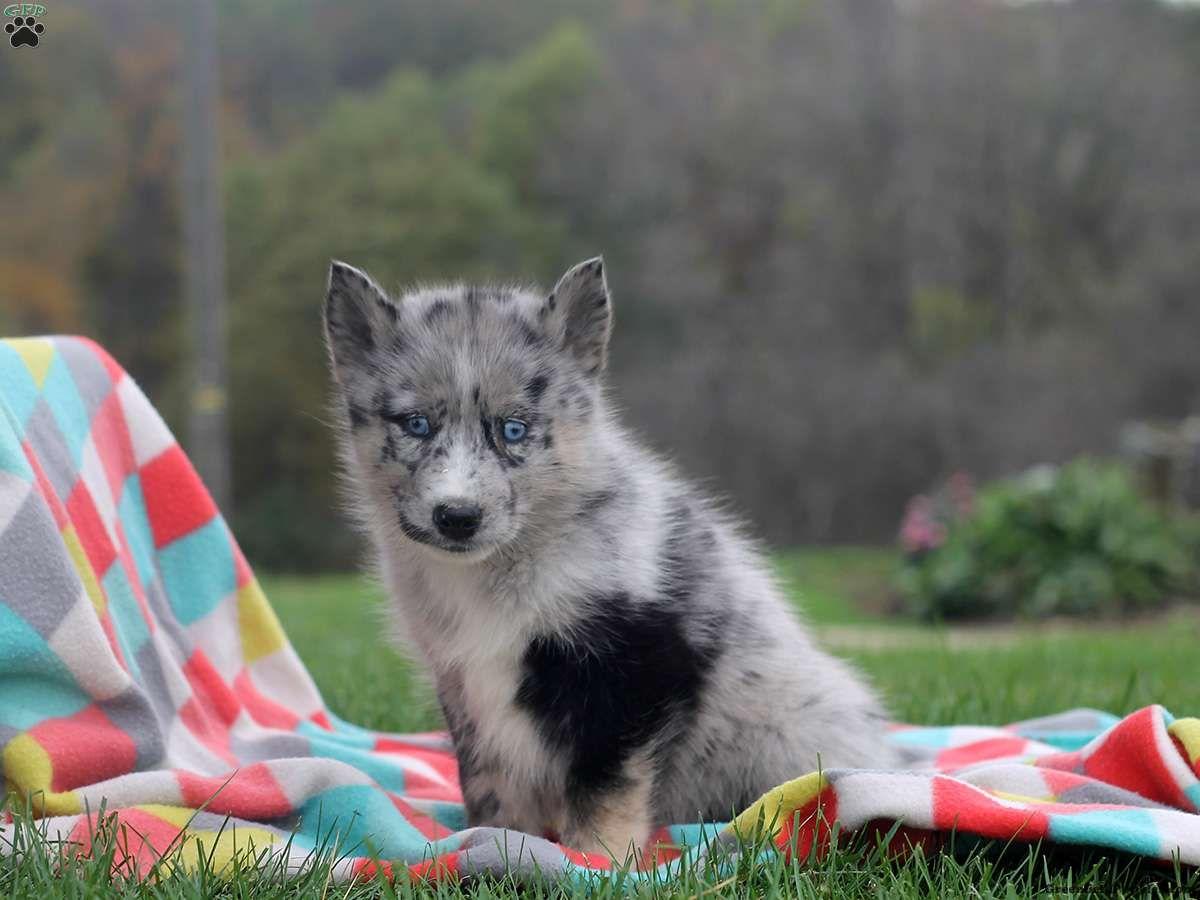 Ivy pomsky puppy for sale in pennsylvania pomsky
