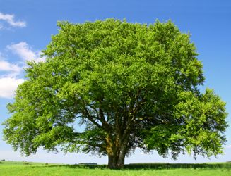 Image result for Beech