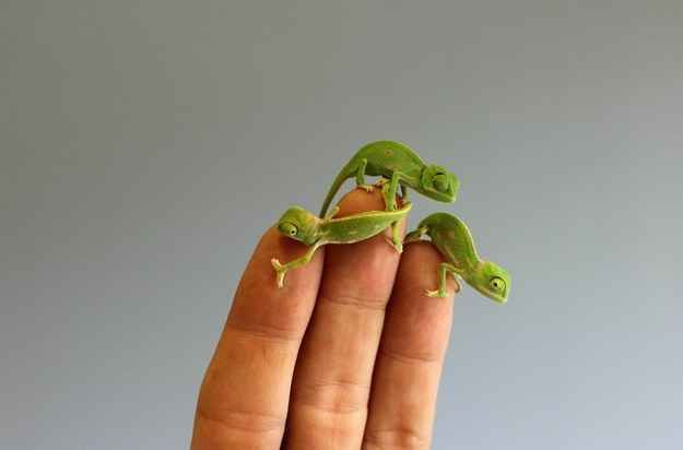 Oh Whoops Hold Up This Mountain Is Real Weird And Slippery We Ll Rule It In A Minute Baby Chameleon Cute Baby Animals Cute Animals