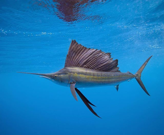 Instagram media by alastairpollock - Sailfish at Isla Mujeres off the Yucatan Peninsula in Mexico. This shot is from a few years ago, we went slightly off season (early December) but were lucky enough to see 25 sailfish on the day. #mexico #sailfish #billfish #fish #diving #uwphotography #wildlife #nature #islamujeres #yucatan #subal #natureaddict #exploringtheglobe #diving