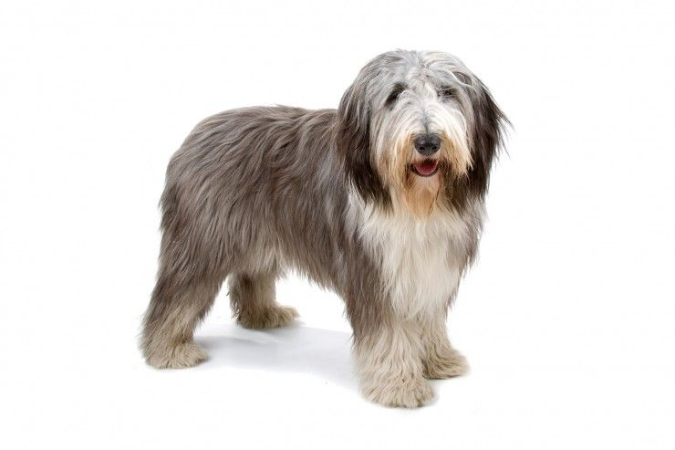 The Difference Between A Bearded Collie And A Polish Lowland