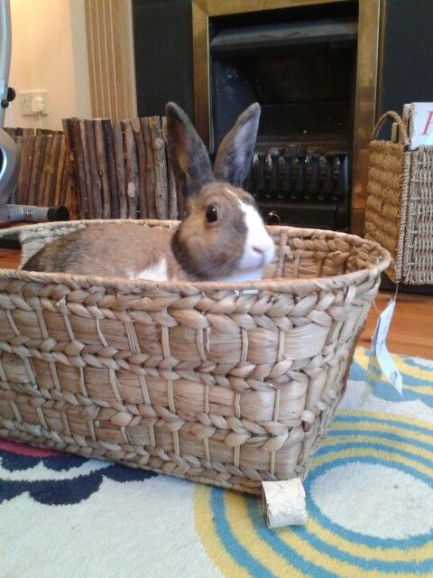Rosie enjoying her new toy :) A water hyacinth storage basket bought at a homeware store. Bunnies love to chew these and play inside them :)