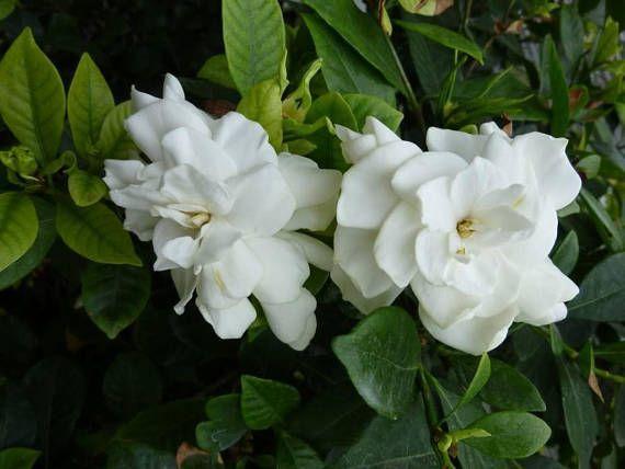 2 cape jasmine gardenia bushes fragrant large white flowers bush 2 cape jasmine gardenia bushes fragrant large white flowers bush shrub real live plants healthy evergreen mightylinksfo