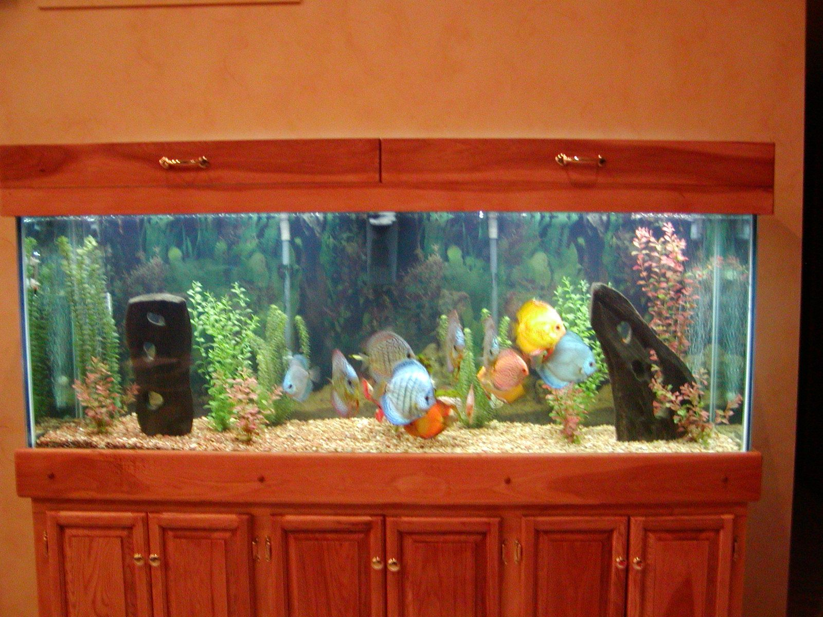 Freshwater aquarium fish by size - Freshwater Tropical Discus Fish Tank