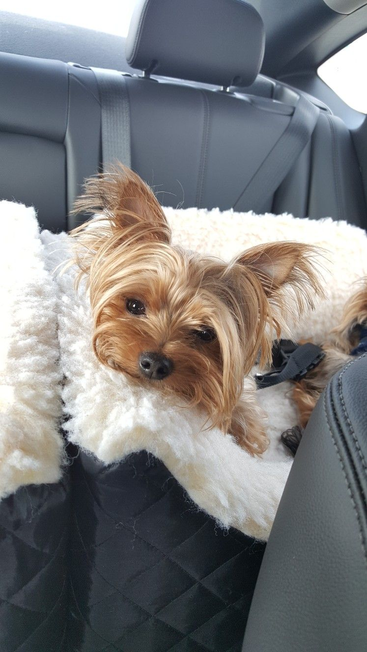 I'm watching you Yorkie terrier, Yorkshire terrier dog