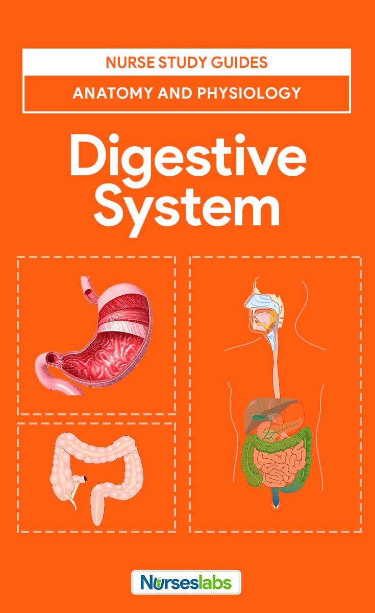 Digestive System Anatomy and Physiology | Pinterest | Nursing ...