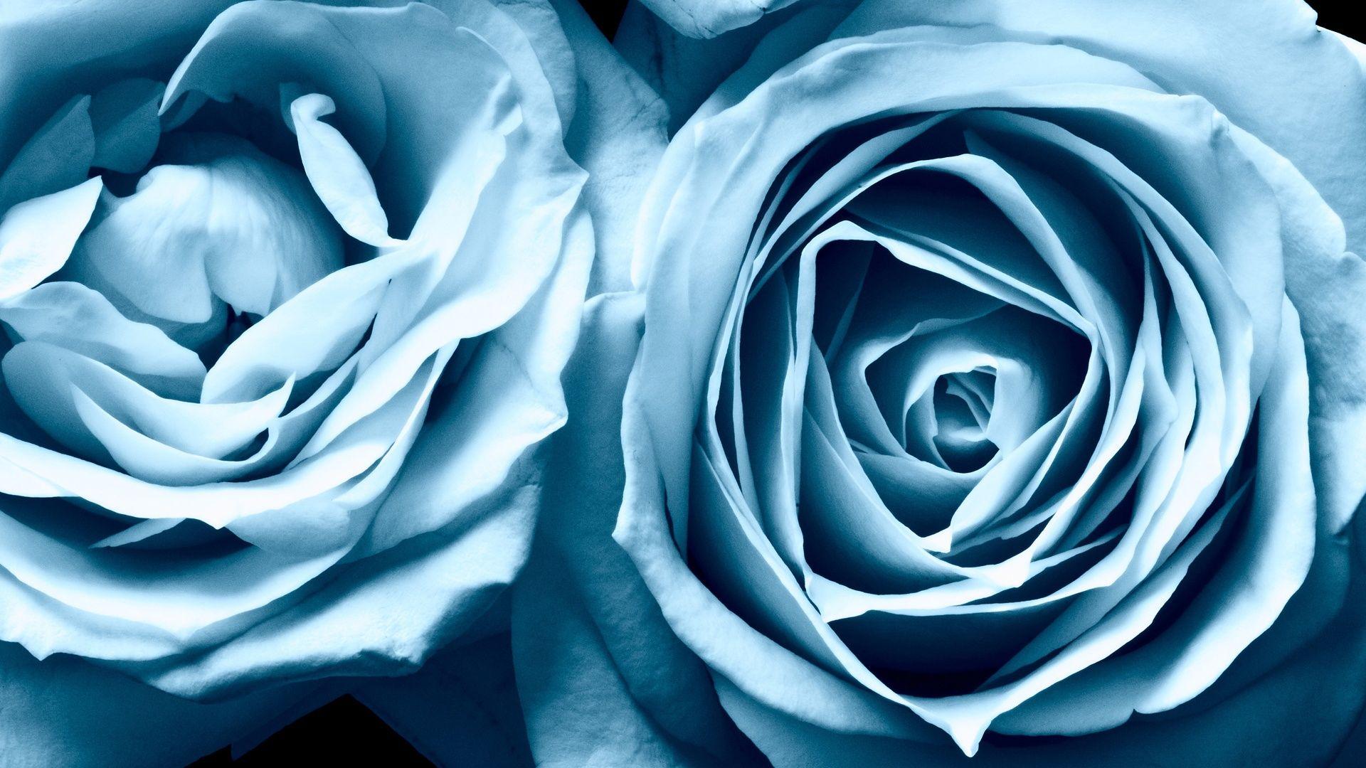 Blue Roses Blue Roses Wallpaper Blue Flower Wallpaper Blue Roses