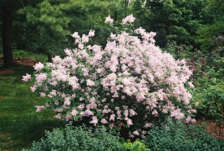 syringa microphylla superba google search nh colonial revival plant species pinterest. Black Bedroom Furniture Sets. Home Design Ideas