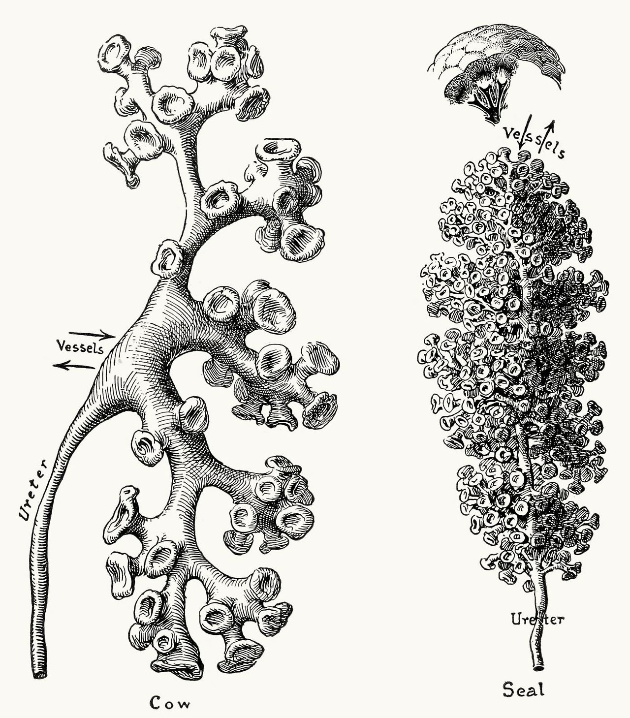 Diagrams Of Casts Of Renal Pelves And Calices In The Cow